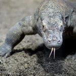 Projets d'animaux de compagnie pour les ultra-riches : dragons de Komodo, sport, musées