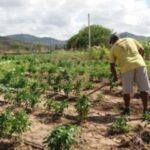La récolte d'Alagoas devrait augmenter de 10% cette année, selon les estimations de l'IBGE