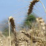 L'USDA réduit l'estimation de la récolte mondiale de blé en 2019/20 - The Rural Present