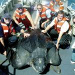 EXTRA EN LIGNE : Forte diminution des tortues de mer géantes au large de la côte ouest des États-Unis