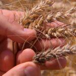 L'IBGE réduit ses prévisions concernant la récolte agricole brésilienne, mais estime qu'elle restera record en 2020 | Agribusiness