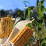 L'USDA maintient l'estimation de la récolte de maïs américaine pour 2020/21 à 14,5 milliards - The Rural Present