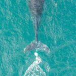 Les équipes de Sea World libèrent la baleine empêtrée aperçue à Port Macquarie au large d'Evans Head | The Young Witness
